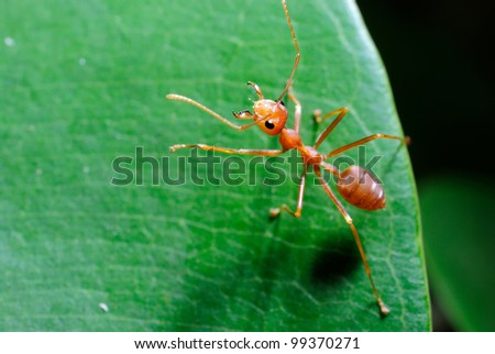 ant formica rufa on leaf - stock photo