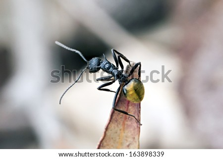 Ant, Golden tailed, Polyrhachis ammon, body length 7 mm, surveying from dried eucalyptus leaf - stock photo