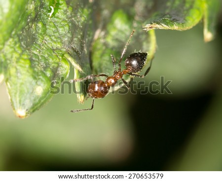 ant in nature. close-up - stock photo