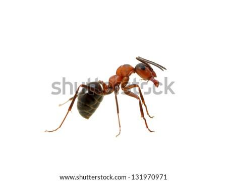 Ant isolated on white background - stock photo