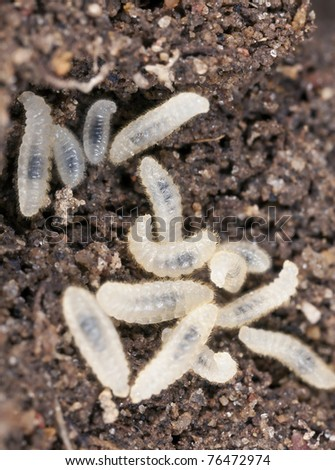 Ant larva, extreme close up with high magnification - stock photo