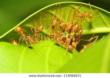 ant many on leaf - stock photo