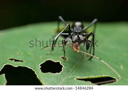 Ant mimicking spider with prey -a harvestman