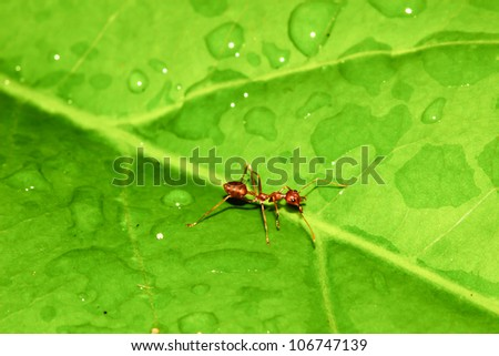 Ant on green leaf. - stock photo