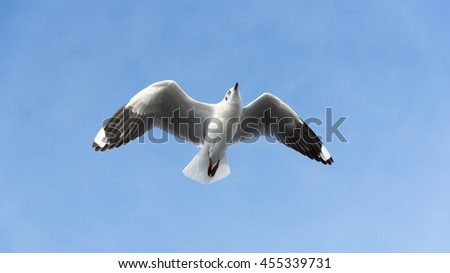 Ant's Eyes View of A Seagull Flying Wingspan looking Straight with Clear Blue Sky for Nature Background. - stock photo
