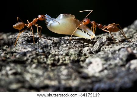 Ant's teamwork - stock photo