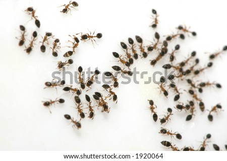 Ant trail on sugar surface. - stock photo