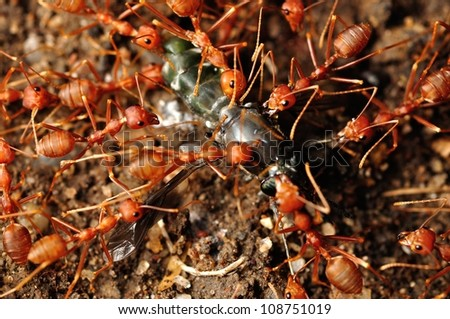 Ant troop trying to move a dead fly - stock photo