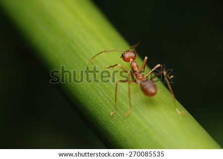 Ant walk on twigs in the garden of Thailand. - stock photo