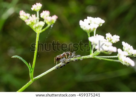"""ant with """"beginner aphid colony"""" - stock photo"""