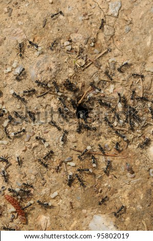 Ant workers carry larva and pupae out of a flooded nest. - stock photo