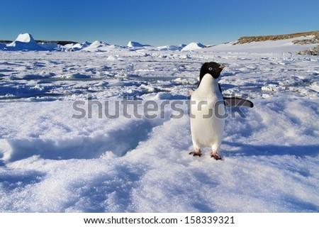 Antarctic animals, penguin Adelie.  - stock photo