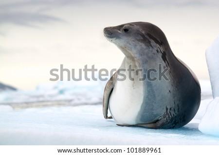 Antarctic Crabeater Seal - stock photo