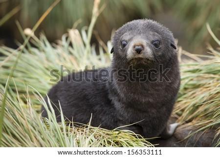 Antarctic Fur Seal (Arctocephalus gazella), pup on tussock grass near Salisbury Plain on South Georgia Island. - stock photo