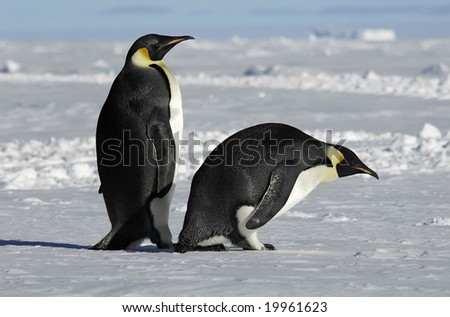 Antarctic penguin couple - stock photo
