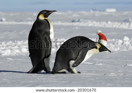 Antarctic penguin couple on xmas