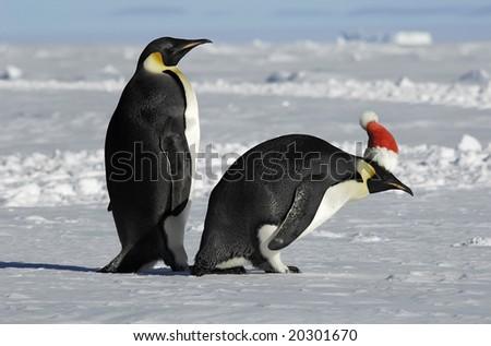 Antarctic penguin couple on xmas - stock photo