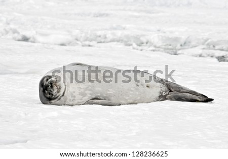 Antarctic Weddell Seal - stock photo
