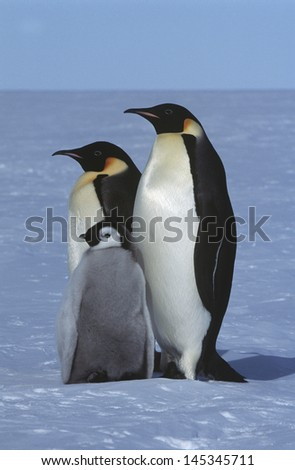 Antarctica Weddel Sea Atka Bay Emperor Penguin Family