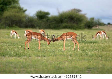 Antelope fight. Nxai Pans national park. Botswana. Africa - stock photo