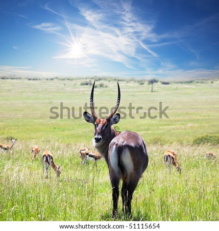 antelope impala - stock photo