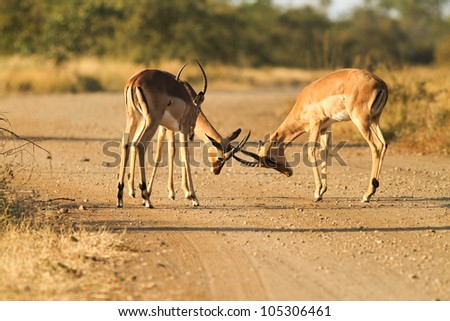 antelope impala males fighting in wild nature(Africa) - stock photo