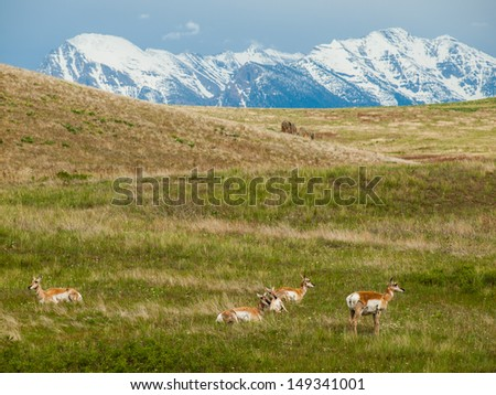 Antelope in a Field at the National Bison Range in Montana USA with Snowcapped Mountains - stock photo