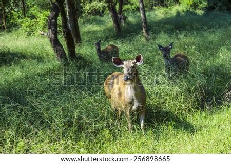 antelope in Sariska national Park in India in grass - stock photo