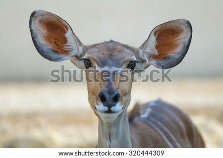 Antelope is a mammal looking at camera - stock photo