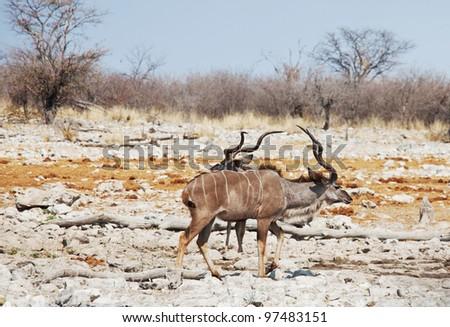 antelope Kudu - stock photo