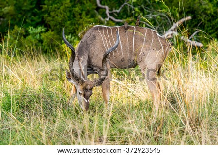 Antelope Kudu in the Moremi Game Reserve (Okavango River Delta), National Park, Botswana
