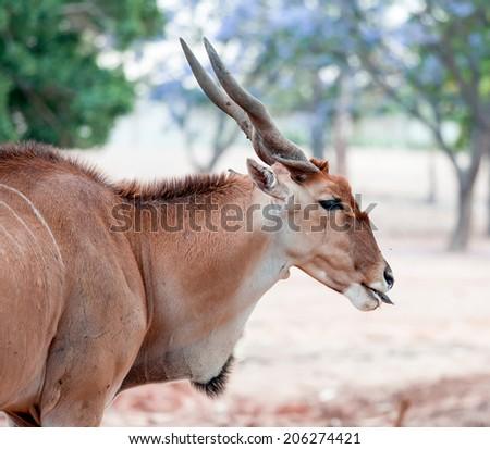 antelope kudu on the grass - stock photo