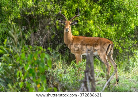 Antelope near the tree in the Moremi Game Reserve (Okavango River Delta), National Park, Botswana