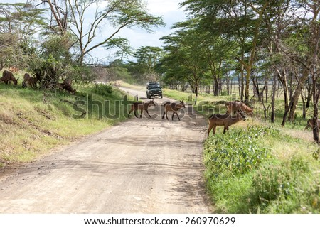 antelope on a background of road. Safari in Africa - stock photo