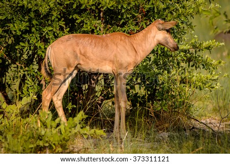 Antelope on the grass in the Moremi Game Reserve (Okavango River Delta), National Park, Botswana