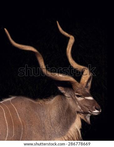 Antelope Portrait - stock photo