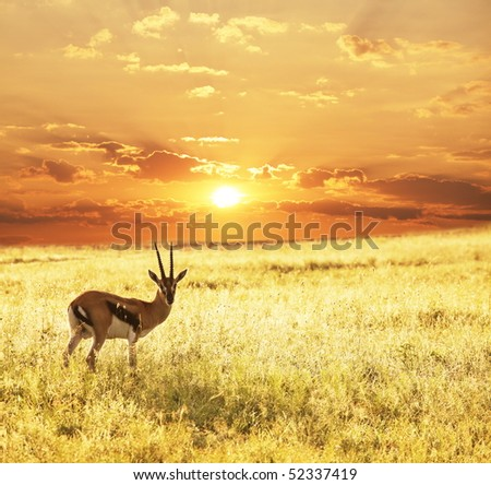 antelope sprinbok on sunrise - stock photo