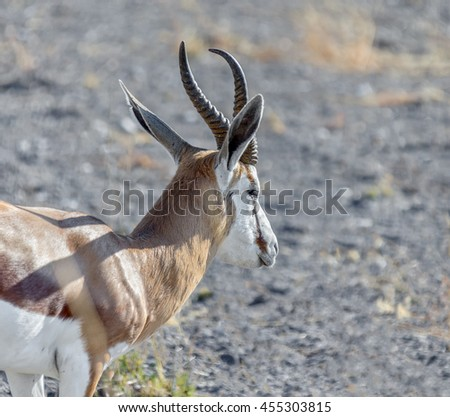 Antelope Springbok at the early morning in the Etosha National Park - Namibia, South-West Africa - stock photo
