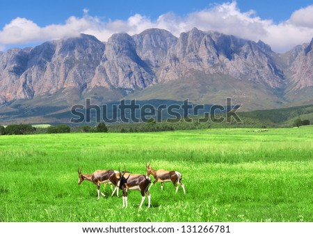Antelopes, lawn, mountain. Shot in Hottentots-Holland Mountains nature reserve, near Somerset West, Cape Town, Western Cape, South Africa. - stock photo