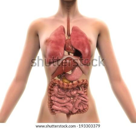 Anterior View of Human Body - stock photo