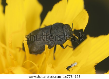 Anthaxia, buprestidae beetle on flower, extreme close-up - stock photo