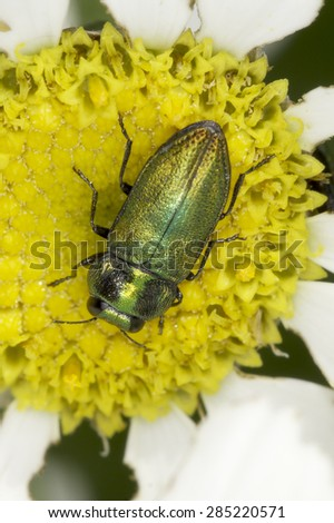 Anthaxia fulgurans - jewel beetle in natural habitat - stock photo
