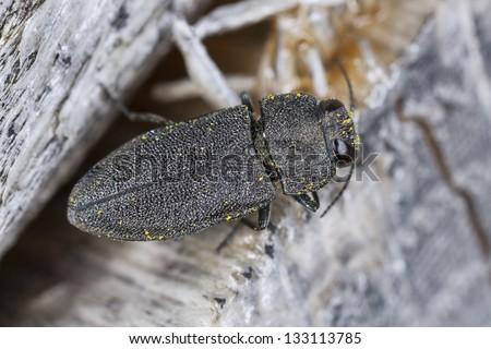 Anthaxia similis on wood, macro photo - stock photo