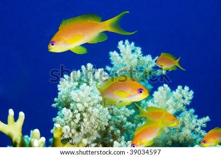 Anthias fish on coral reef - stock photo