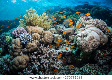 Anthias fishes surrounding hard coral of the Red Sea . Taken at Fury Shoal reefs, Southern Egypt.  - stock photo