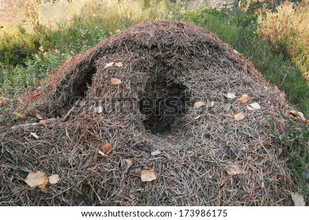 Anthill dug out by predator