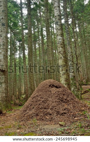 anthill of ant rufa in the natural park in campigna,italy - stock photo