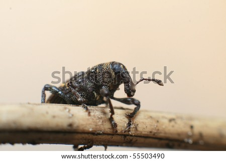 Anthonomus Rubi - stock photo