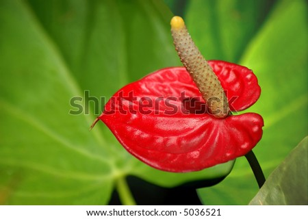 Anthurium exotic flower with leaves background - stock photo