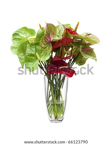 Anthurium/Flamingo flowers in a glass vase, isolated on white.